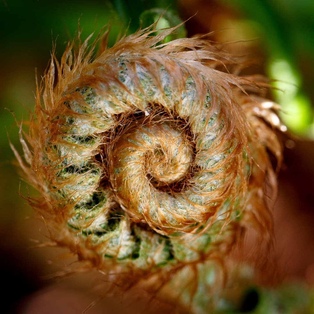 Fiddlehead (photo by Matt Giraud)